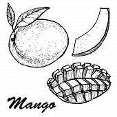 Hand Drawn Mango Fruits Set With Leafs And Mango Slices And Cubes. Botanical Mango Fruit Illustratio poster