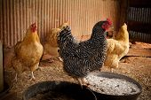 picture of buff  - One black and white Barred Plymouth Rock chicken breed hen and three golden Buff Orpington chicken breed hens inside of a free range style chicken coop - JPG