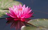 stock photo of water lily  - water lily in a water garden - JPG