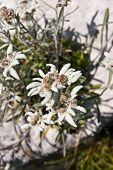 picture of edelweiss  - Edelweiss on a rock in the mountains in Trentino Italy - JPG