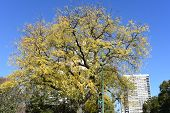 Fall Yellowed Top Of A Tree With Yellow Fall Leaves Extending To The Clear Blue Sky. Fall Background poster