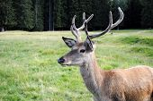 picture of musky  - young e horny male deer  in mountain landscape - JPG