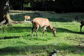 image of musky  - young male deer pastures in mountain landscape - JPG