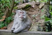 Monkeys Sit On The Trail.monkey Forest In Bali. Monkey In The Park. The Monkey Sits. poster