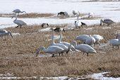 foto of whoopees  - Birds - JPG