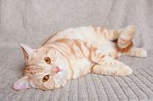 A Beautiful Red Marble Tabby Britain Cat Lying On A Woolen Blanket. poster