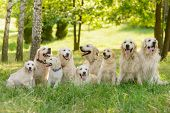 The Kingdom Of Dogs Outdoors In The Forest. Long Raw Of Beautiful Golden Retrievers With Fluffy And  poster