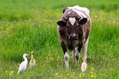 Wild Great Egret Heron (ardea Alba) And Cattle Egret (bubulcus Ibis) Standing Closely To Domestic Co poster