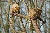 picture of coatimundi  - Two eating coatimundis in a tree  - JPG