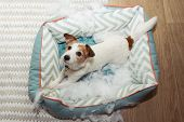 Dog Mischief Disobey Concept. Jack Russell Terrier Destroyed A Fluffy Pet Bed. poster