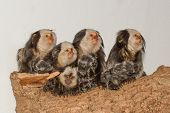 stock photo of marmosets  - Five Tufted - JPG