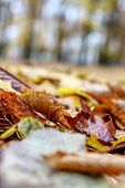 Coloured Maple Leaves In The Fall. Well Convey The Mood Of Autumn Close Up Orange Leaves On Ground W poster