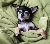 picture of pooch  - a cute chihuahua napping in a blanket - JPG