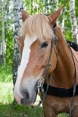 picture of birchwood  - a horse is by a canicular day in a birchwood - JPG