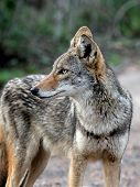stock photo of coyote  - A closeup shot of a Coyote in South Texas - JPG