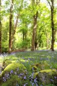 picture of irish moss  - a wood full of bluebells in ireland - JPG