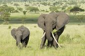 Female African Elephant With Long Tusk (loxodonta Africana) With Her Baby