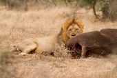 picture of anus  - Lion male busy eating its buffalo catch in Kruger Park South Africa - JPG