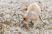 Blonde Wolf (Canis lupus) Frolics In Early Autumn Snowfall