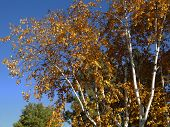 foto of boise  - During autumn the tree leaves turn brilliant colors of yellow - JPG