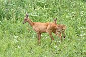 stock photo of deer family  - family of roe deers doe and calf standing in the big summer grass - JPG