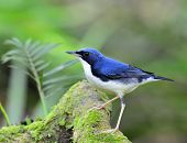 picture of robin bird  - Siberian Blue Robin  - JPG