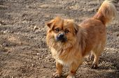 image of hairy tongue  - picture of a cute brown dog on a soil - JPG