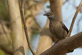 stock photo of babbler  - A Brown Babbler  - JPG