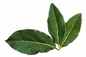 stock photo of bay leaf  - Fresh bay leaves - JPG