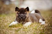 picture of akita-inu  - adorable american akita puppy outdoors in spring - JPG
