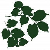 picture of linden-tree  - silhouette the branches of the linden tree - JPG