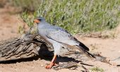 stock photo of goshawk  - Pale Chanting Goshawk feeding on red sand dune among dry grass in the Kalahari  - JPG