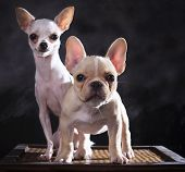 Portrait Of French Bulldog And Chihuahua Puppies With Studio Light