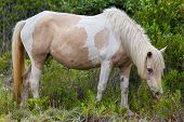 stock photo of pony  - A Wild pony horse of Assateague Island Maryland USA - JPG