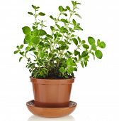 picture of origanum majorana  - fresh flavoring herbs oregano in brown flower pot isolated on white background - JPG