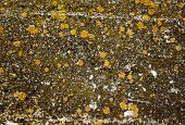 Lichens on stone - natural abstract background