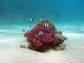 picture of damselfish  - coral reef with hard coral and exotic fishes white - JPG