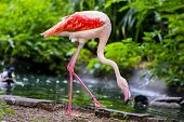 stock photo of greater  - The greater flamingo (Phoenicopterus roseus) is the most widespread species of the flamingo found in Africa, Asia, and Europe.