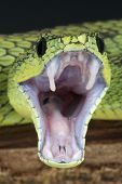 image of venom  - Vipers are adapted to the fast delivery of their venom - JPG