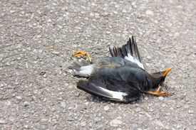picture of life after death  - Dead bird lying in the road after being knocked down by a car - JPG