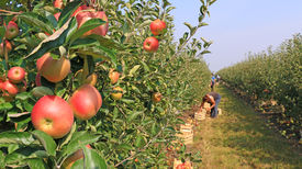 stock photo of orchard  - Ripe apple in orchard ready for picking - JPG