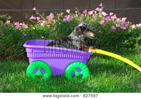 Picture or Photo of Young dachshund in a toy wagon