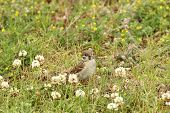 picture of nibbling  - Female house sparrow (Passer domesticus) in the grass nibbling on clover blossoms.