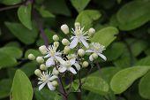 stock photo of honeysuckle  - White blossoms of a honeysuckle  - JPG