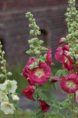picture of hollyhock  - Common hollyhock  - JPG