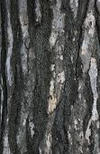 picture of white bark  - Dark and white colored bark of a pine - JPG