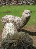 foto of alpaca  - Close view at the Huacaya alpacas outdoors - JPG