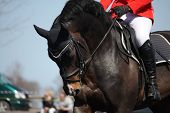 pic of saddle-horse  - portrait of brown sport horse during horse competition - JPG