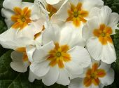 picture of primrose  - particular of  some white primroses in a small vase - JPG
