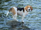 stock photo of bohemia  - Beagle standing on a rock the water around  - JPG